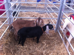 a pair of Nubian kids at the Balmoral Show